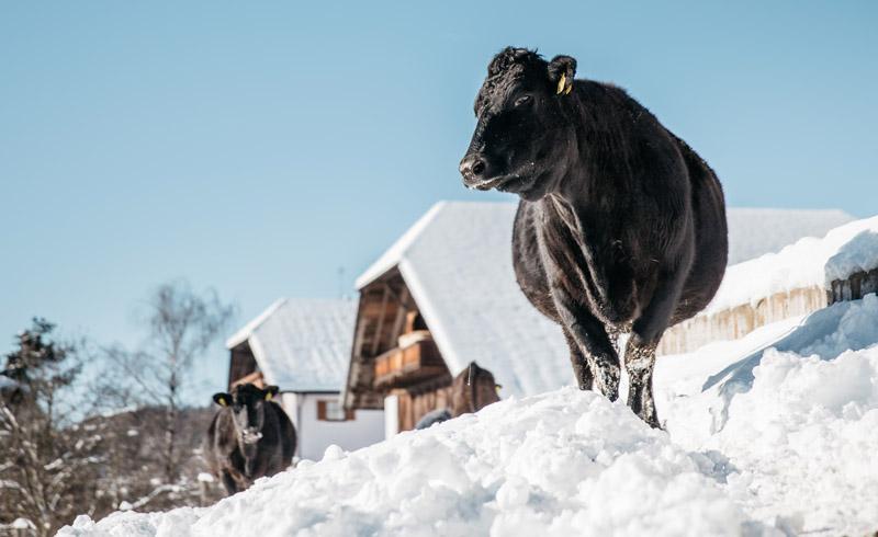 Wagyu aus Südtirol